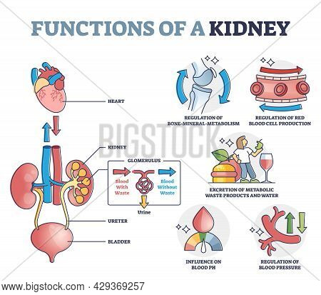 Functions Of Kidney With Anatomical Filtering Organ System Outline Diagram. Educational Waste And To