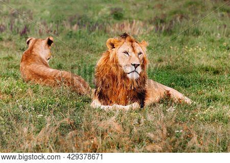 Pride Of African Lions, Panthera Leo, In Safari Park.