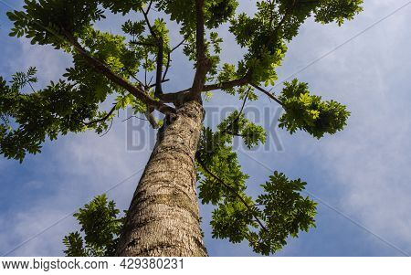 Green Jungle Tree Against Blue Sky, With Some Withe Clouds . Nature Concept. Look Up View In Tropica