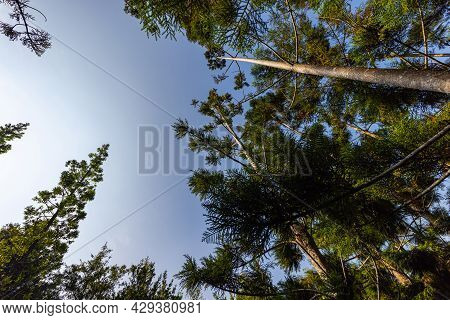 Looking Up Into The Blue Clear Sky Along The Tree Trunks Of Pine Trees. Early In The Morning When Th