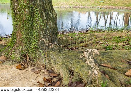 Tropical Tree Trunk Overgrown With Lichen. Reflection Of The Trees In The Water Of The Small Pond. T