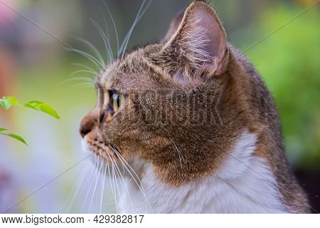 Adult Female Cat, Lying In The Sun In The Back Yard On The Meadow In The Grass. A Close Up Portrait