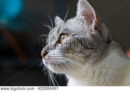 Close-up Of A Cat Face. Portrait Of A Female Kitten. Cat Looks Curious And Alert. Detailed Picture O