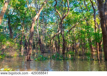 Floating Mangrove Forest Near The Kampong Phluk Floating Village And Angkor Wat, Siem Reap, Cambodia