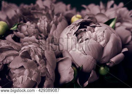 Surreal Peonies Close-up On Black Background, Soft Focus. Dark Spring Or Summer Floral Background. F