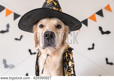 Happy Dog In A Witch Costume Sits On A White Background. Halloween Golden Retriever. The Concept Of