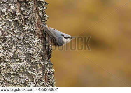 Beautiful Small Songbird, Eurasian Nuthatch (sitta Europaea), Climbing On A Tree Trunk In Estonian N