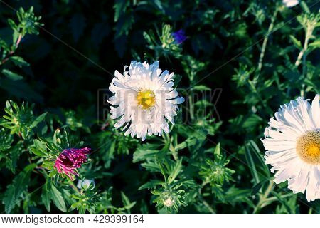 White Aster Bask In The Sun. Asters On A Blurred Blue-green Background.