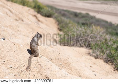 Gopher. Squirrel Rodent. Wild Fluffy Animal Looking Away. Ground Squirrel Outdoor. Wildlife.