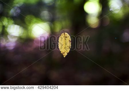 Almost Autumn. First Yellow Leaf Floating In Teh Forest Air.