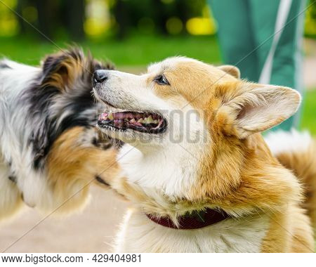 Couple Of Cute Dogs Breed Spotted Australian Shepherd And Petit Corgi Playing In Summer City Park Wi