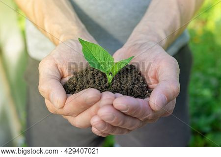 Hands Holding Plant Growing In Handful Of Soil At Summer Garden. Concept Green World Earth Day. Clos