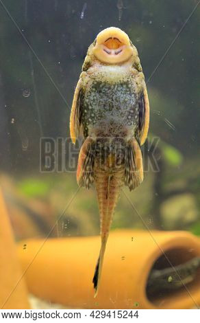 A Close-up Of A Catfish Sticking To An Aquarium Glass, Sucked In.