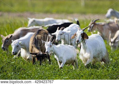 Goats Walk In Village, Breeding Of Domestic Animals. Industrial Animal Husbandry, Livestock Business
