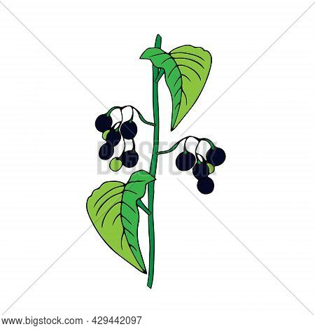 Colored Outline Hand Drawing Vector Illustration Of A Nightshade Plant With Black And Green Fruits I
