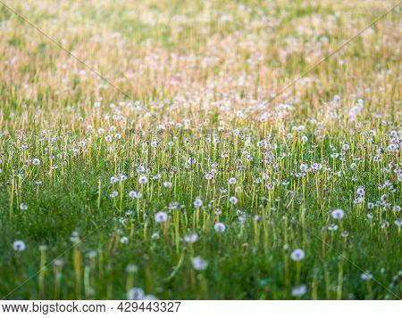 Field With White Dandelion Flowers. Meadow Of White Dandelions. Summer Dandelion Field. Spring Backg