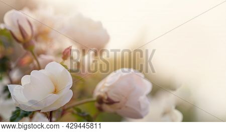 Floral Abstract Pastel Background With Copy Space. Beautiful Rose Flowers On Background With Copy Sp