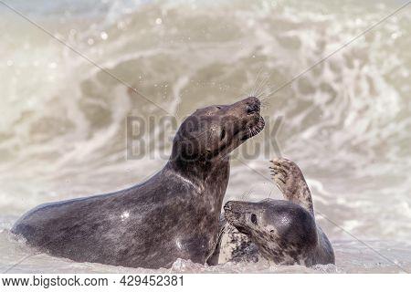 Animal Friendship,. Breeding Pair Of Seals Having Fun Before Mating. Dynamic Wildlife Photograph. An