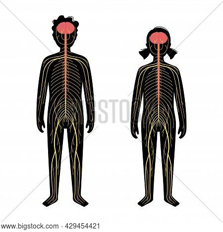 Human Nervous System, In Child Silhouette. Network Of Nerves Cns And Pns Systems. Cerebellum, Brain