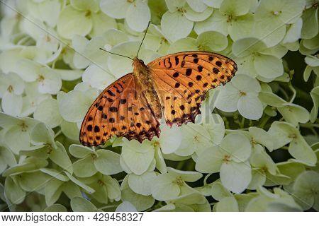 Araschnia Levana On White Hydrangea Flower. Beautiful Delicate Butterfly, Orange Wings. Macro Insect