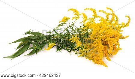 Golden Solidago Virgaurea Flowers Isolated On White Background. Ragweed Bushes Or Ambrosia Artemisii