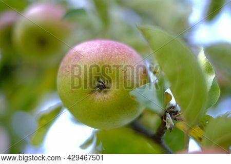 Autumn Apple Orchard. Apple Harvest. Apples On A Branch In The Autumn Garden. Autumn Fruits. Large R