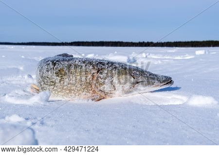 North Pike. During Cold Winter Time. Ice Fishing. Space For Text