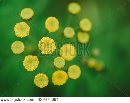Yellow Flower Core Stamens And Pistils Without Petals On Green Background, Abstract Natural Horizont