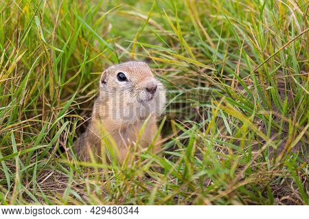 Gopher With Large Cheek Pouches Peeps Out Of The Hole Among Green Grass. The European Ground Squirre