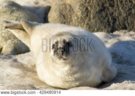 Grey Seal (halichoerus Grypus) Pup On The Beach In Estonian Nature