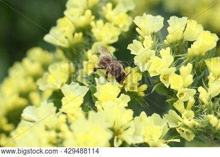 Bee Pollinates Yellow Statice Flowers In Field Closeup