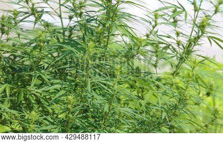 Cannabis (cannabis Sativa) Flowering Stage In Medical Marijuana Outdoor Farm