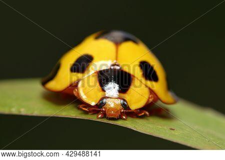 Closeup Giant Bamboo Ladybird (synonycha Grandis) The Tropical Bamboo Aphids Predator