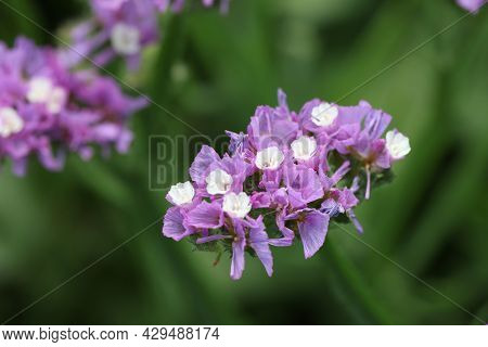 Purple Statice Flowers On Field. Bright Wildflowers