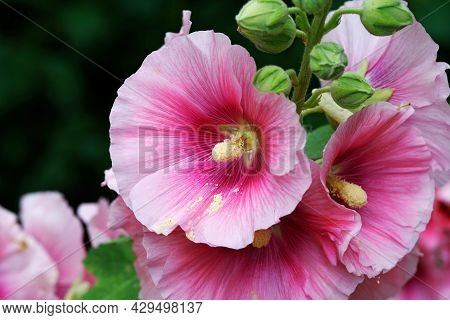 Alcea Rosea - Ordinary Hollyhock In A Park In Cologne In Summertime