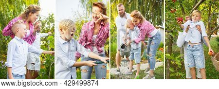 Collage Of Images Of Happy Family, Father, Mother Anbd Son Gathering Apples In A Garden Outdoors. Ac