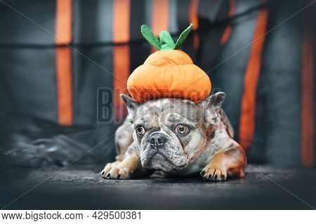 Merle French Bulldog Dog Wearing Halloween Pumpkin Costume Hat In Front Of Black And Orange Paper St