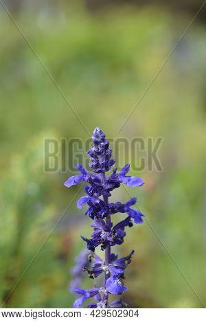 Sage Mystic Spires Blue - Latin Name - Salvia Mystic Spires Blue
