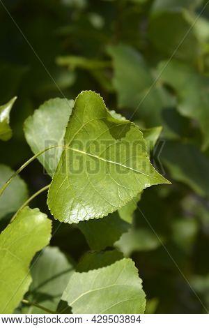 Lombardy Poplar Leaves - Latin Name - Populus Nigraa Var. Italica