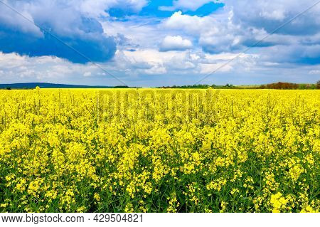 Yellow Rapeseed Flowers On A Large Cultivated Field. Rapeseed Oil Production.