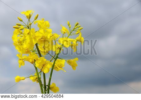 Yellow Rapeseed Flowers On A Background Of Blue Sky. Close-up Of Flowering Rapeseed In Summer.