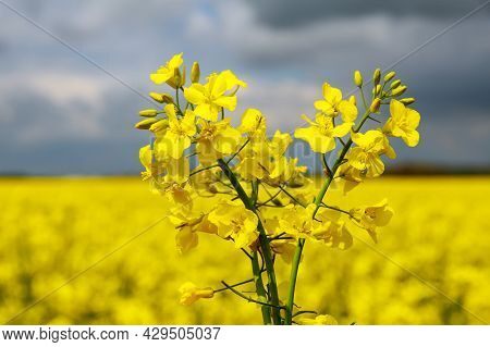 Yellow Rapeseed Flowers On A Background Of Rapeseed Field And Blue Sky.