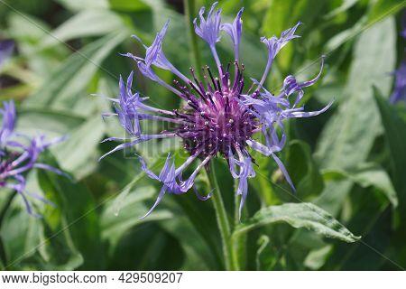 Perennial Cornflower (centaurea Montana). Called Mountain Cornflower, Bachelor's Button, Montane Kna