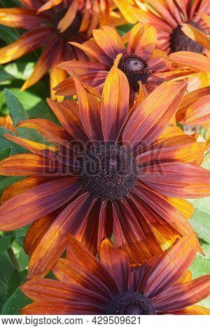 Black-eyed Susan (rudbeckia Hirta). Called Brown-eyed Susan, Brown Betty, Gloriosa Daisy, Golden Jer
