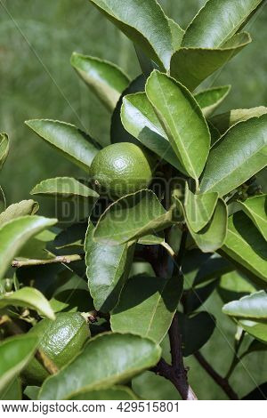 Bearss Persian Lime (citrus X Latifolia 'bearss Lime'). Called Seedless Lime And Tahiti Lime Also. H