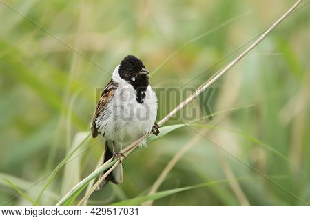 Common Reed Bunting Perched On A Reed In Rainham Marshes Nature Reserve , Uk.