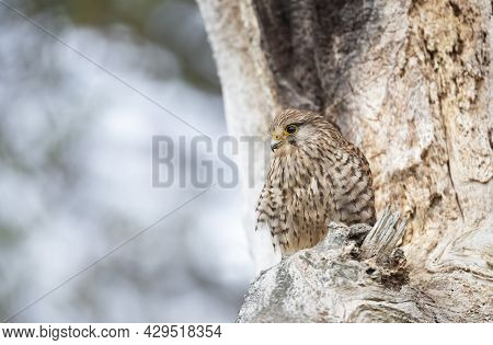 Close Up Of A Common Kestrel Perched In A Tree, United Kingdom.