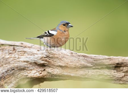 Close Up Of A Common Chaffinch (fringilla Coelebs) Perched On A Tree, England.