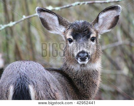 Black-tail Deer Staring