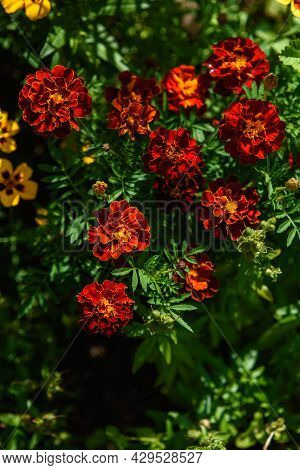 Close Up Of Marigolds Flowers